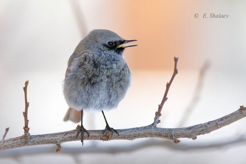 горихвостка-чернушка,birds,black redstart,phoenicurus ochruros,птица,фотоохота Горихвостка-чернушкаphoto preview