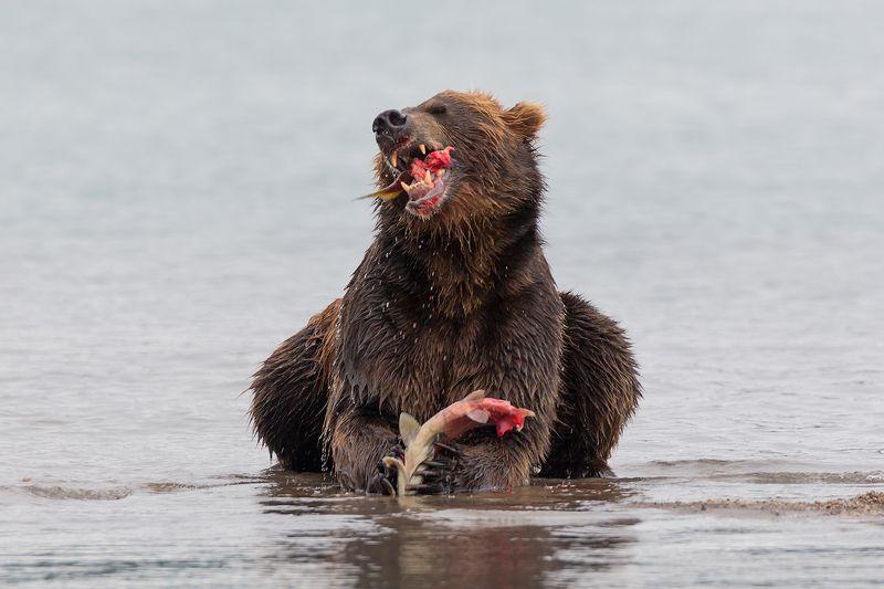 Камчатка, медведь, природа, путешествие, животные, россия, фототур Гурманphoto preview