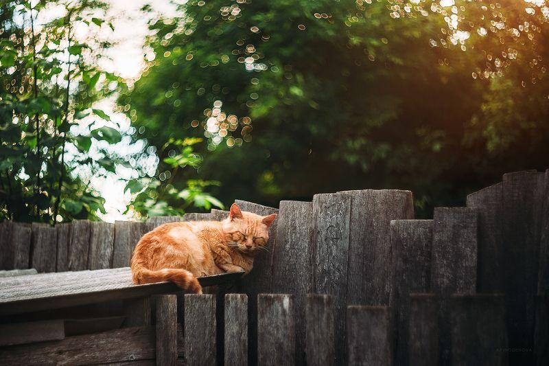 лето, кот, рыжий кот, боке, гелиос Сладкий сонphoto preview