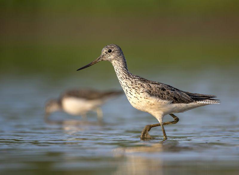 птицы,природа,лето Большой улитphoto preview