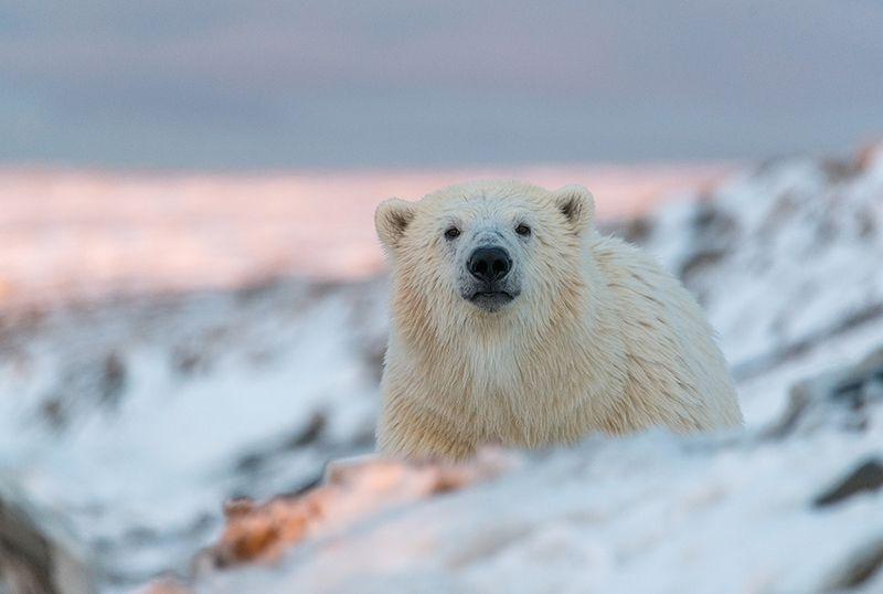 чукотка арктика кожевников медведь морской белый полярный умка Медвежье любопытство...photo preview