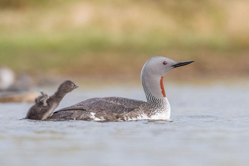 red-throated diver, gavia stellata, bird, bird family, Iceland Get on board!photo preview