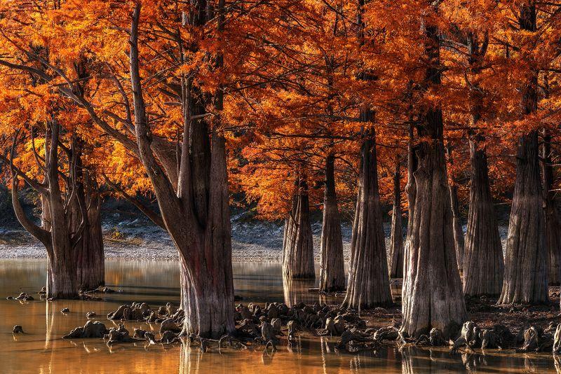 болотные кипарисы, озеро сукко, анапа, краснодарский край, осень, листья,кипарисы, сукко, Болотные Кипарисы на озере Суккоphoto preview