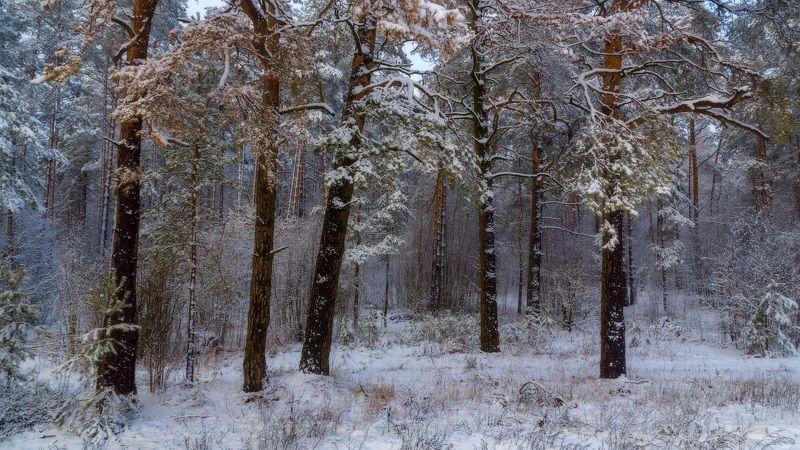 Первый снег в сосновом боруphoto preview