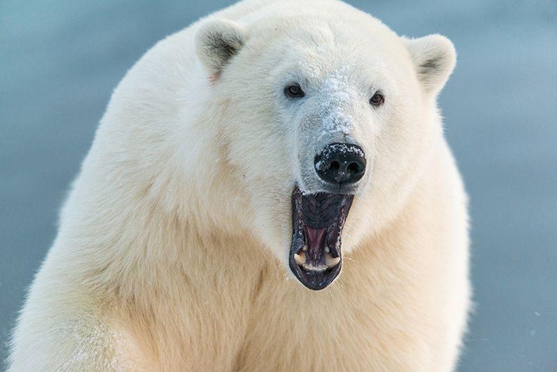 чукотка арктика кожевников медведь морской белый полярный умка ***photo preview
