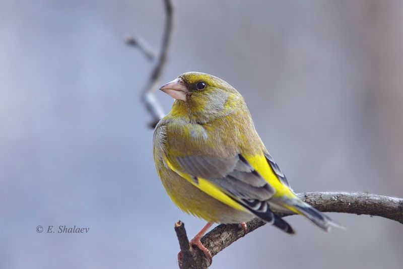 birds,carduelis chloris,european greenfinch,обыкновенная зеленушка,птица,птицы,фотоохота Франтphoto preview