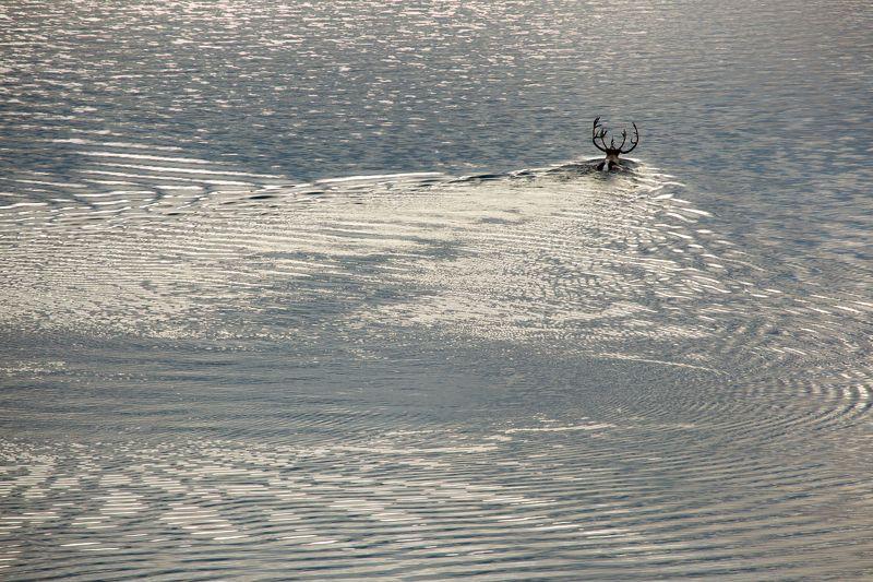 озеро, олень, волны, осень, колыма, дальний восток, антон селезнев, путешествие, встреча, блики Северный олень переплывает озеро Джека Лондонаphoto preview
