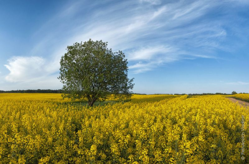 Рапса поле золотоеphoto preview