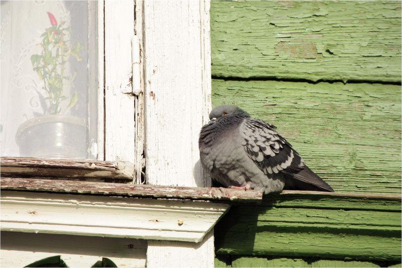 перец, голубь, окно Перецphoto preview