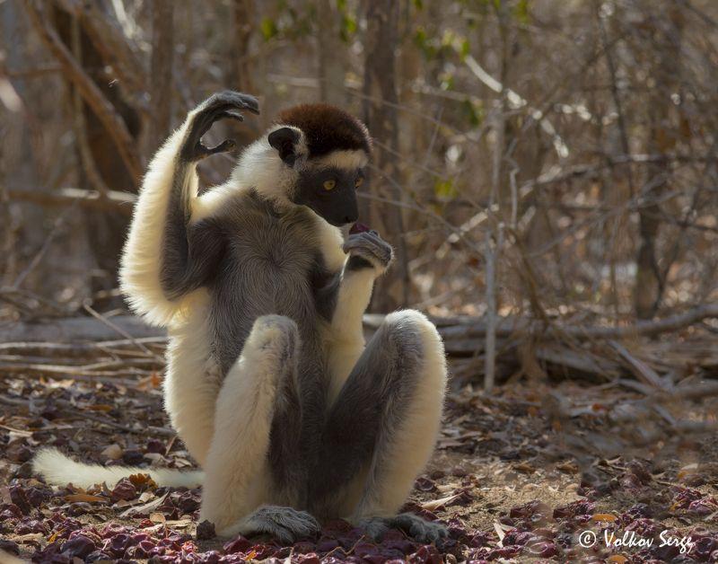 хохлатый сифака, propithecus verreauxi, мадагаскар, животный мир, дикая природа, приматы, лемуры Девочка с персиками...photo preview