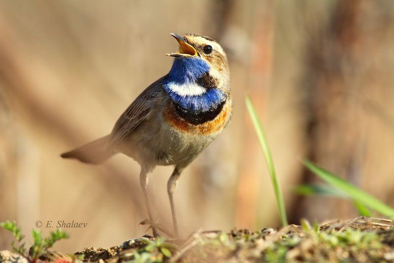 birds,bluethroat,luscinia svecica,варакушка,птица,птицы Варакушка - Luscinia svecicaphoto preview