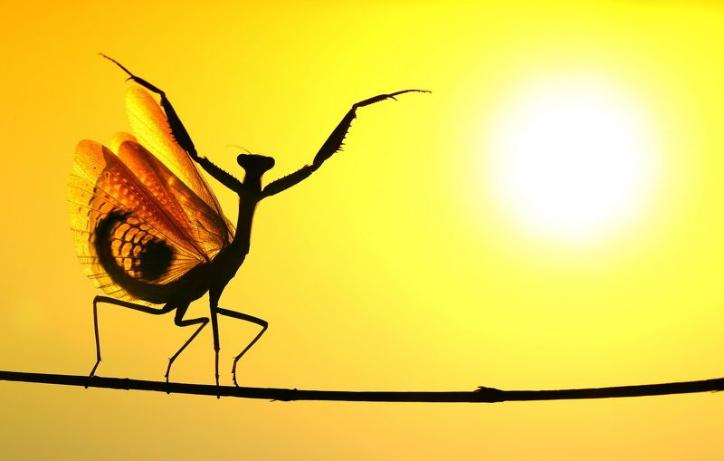praying,mantis,sunset,dancing,nature,macro,cyprus Sunwardphoto preview