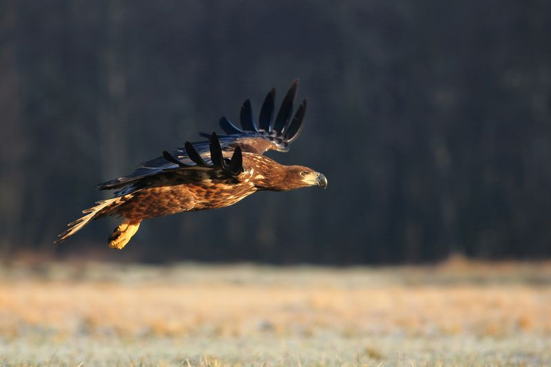 White tailed eaglephoto preview