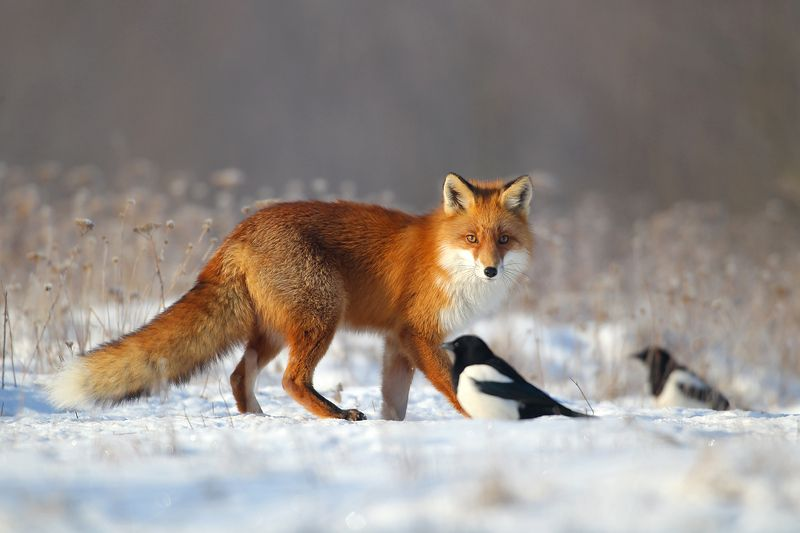 #fox #wild #poland #dolinanarwi Foxphoto preview