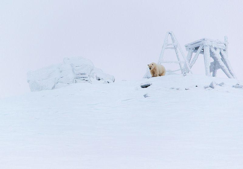чукотка арктика кожевников медведь морской белый полярный умка Наблюдатель...photo preview