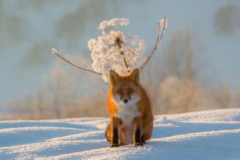 Камчатка, лиса, животные, природа, путешествие, россия, зима, Это мой одуванчик!!!photo preview