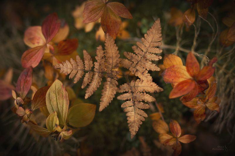 кольский полуостров, ловозерские тундры, осень, тайга, папоротник, жёлтый, красный, листья, макро Таёжный янтарьphoto preview