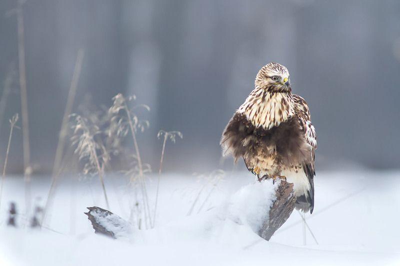 buteo lagopus, poland, dolinanarwi, nature, animals Winterphoto preview