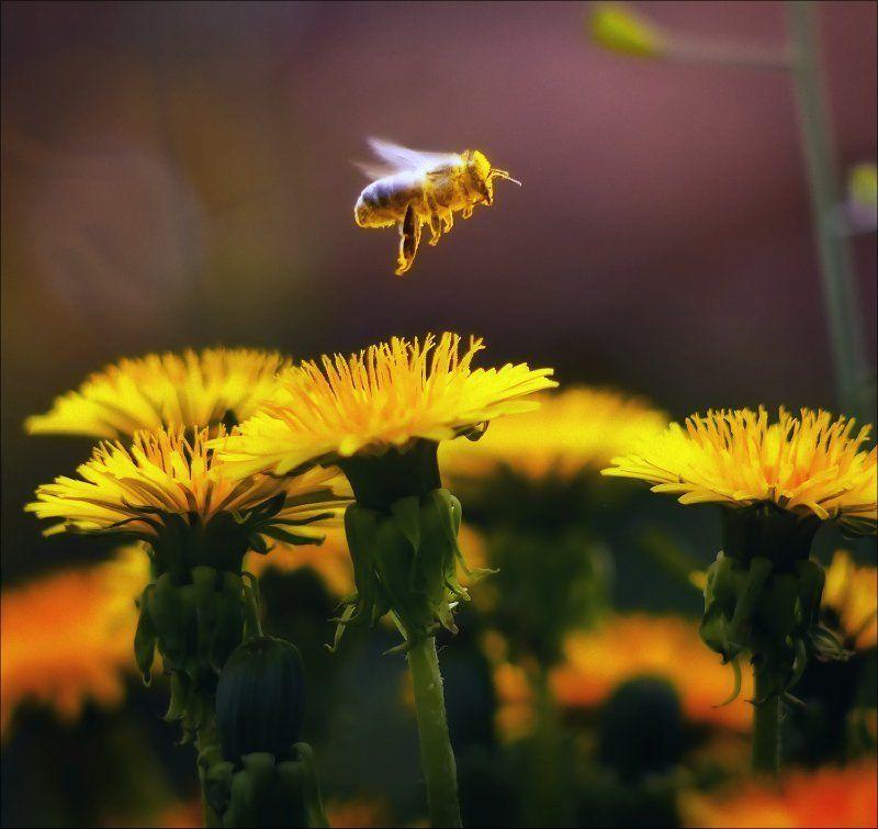 макро, насекомые, цветок, пчела портфолио претендента (сборная солянка)photo preview