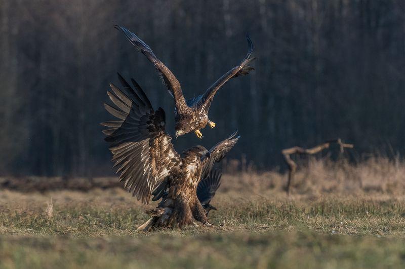 Orzeł bielik, Haliaeetus albicilla, bielik zwyczajny, White-tailed Sea Eagle, Sea Eagle Akrobaci (Acrobats)photo preview