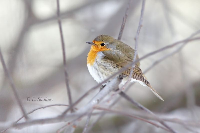 birds,european robin,зарянка,птица,птицы,фотоохота,erithacus rubecula Холода.photo preview