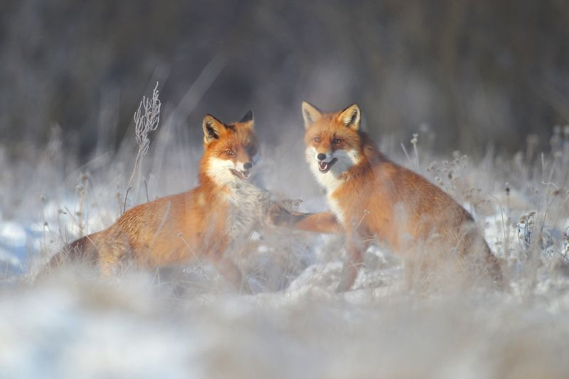 #fox #wild #poland #dolinanarwi Give your pawphoto preview