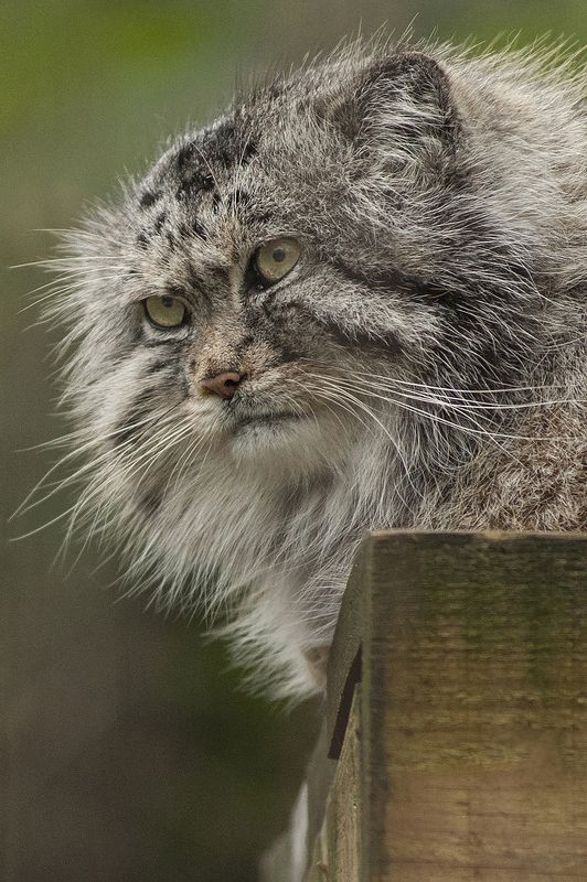 Pallas\'s cat ,wild catphoto preview