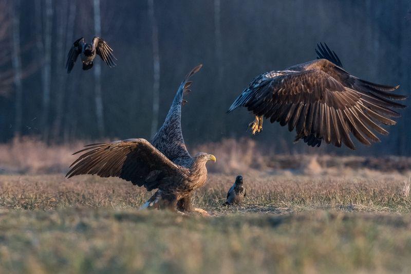 Orzeł bielik, Haliaeetus albicilla, bielik zwyczajny, White-tailed Sea Eagle, Sea Eagle White-tailed Sea Eagle (Haliaeetus albicilla) photo preview