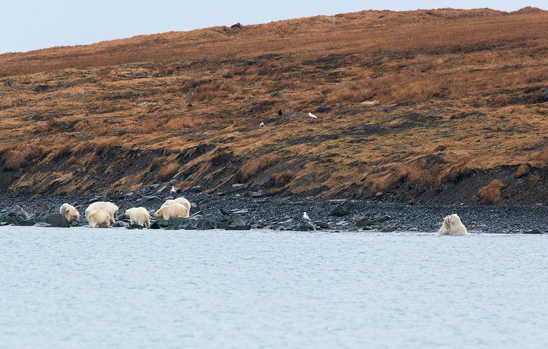 чукотка арктика кожевников медведь морской белый полярный умка Берег полярных медведей....photo preview