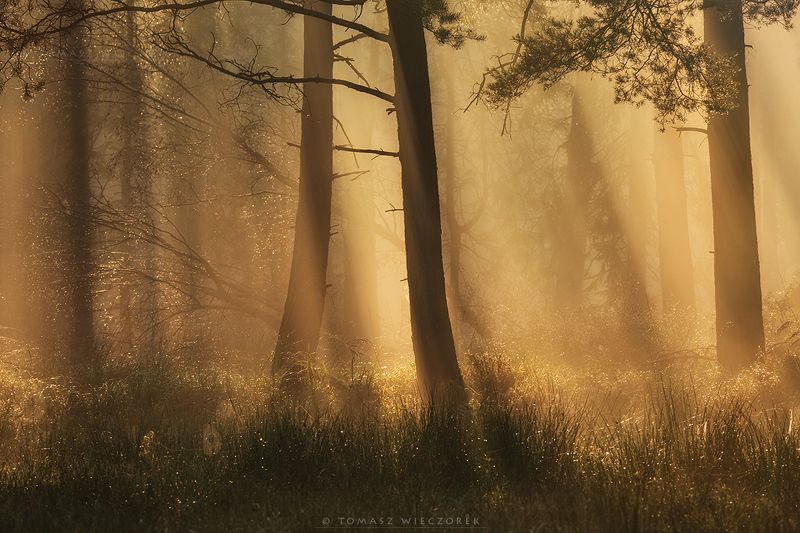 morning, sunrise, sunset, forest, poland, light, fog, misty, glow, wood, trees, dew, autumn, amazing The smell of the forestphoto preview