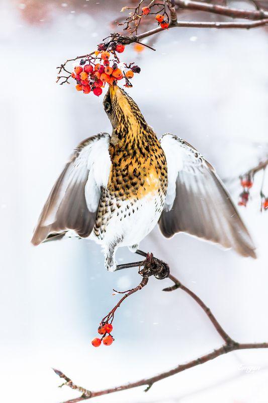 animals, berries, bird, breakfast, eating, fieldfare, kharkiv, show, sorbus, turdus pilaris, ukraine, winter, дрозд, рябинник, зима, птицы Снежный завтракphoto preview