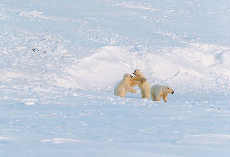 чукотка арктика кожевников медведь морской белый полярный умка один час из жизни медведей на Кожевниковаphoto preview