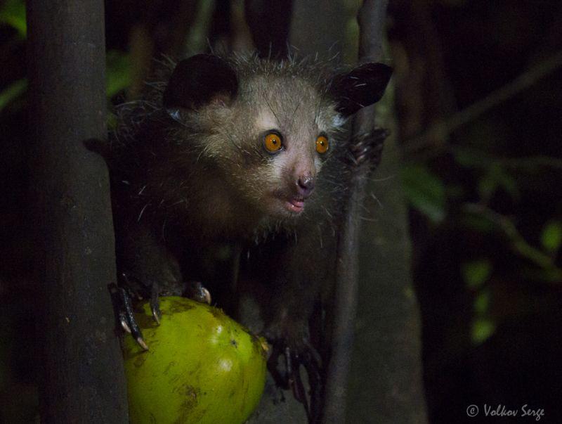 руконожка, ай-ай, daubentonia madagascariensis, мадагаскар, фотоохота, дикие животные, wildlife Гремлинphoto preview
