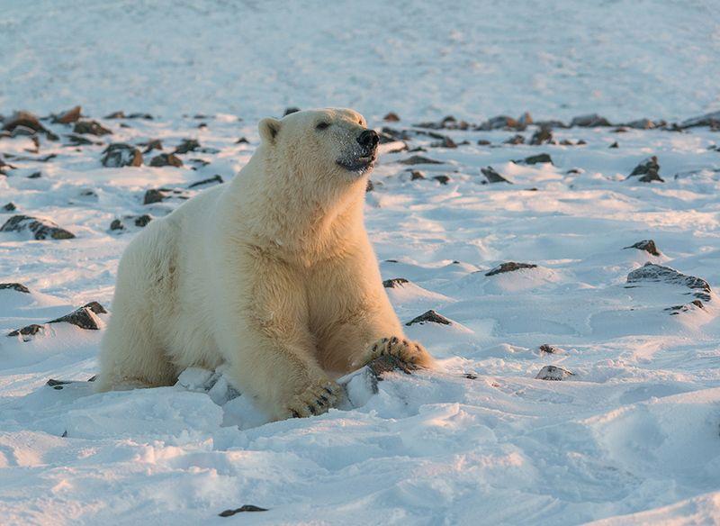 чукотка арктика кожевников медведь морской белый полярный умка Улыбочку...photo preview