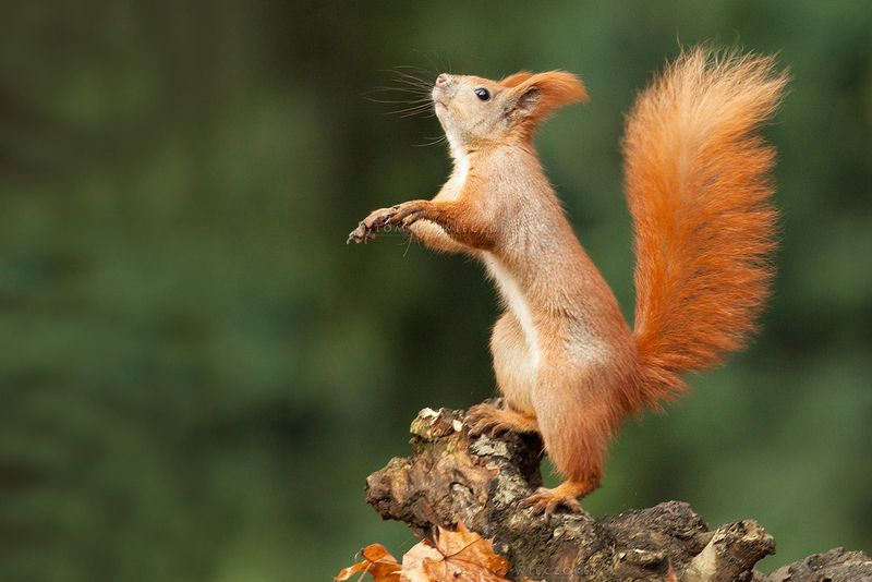 squirell, wildlife, forest, autumn, poland, hide, orange, colours, dance, mammal Dancing Queenphoto preview