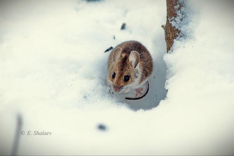 зима,мышь,apodemus uralensis,mammals,mouse,лесная мышь \