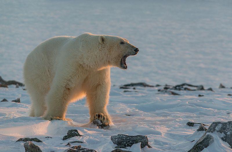 чукотка арктика кожевников медведь морской белый полярный умка Зов...photo preview