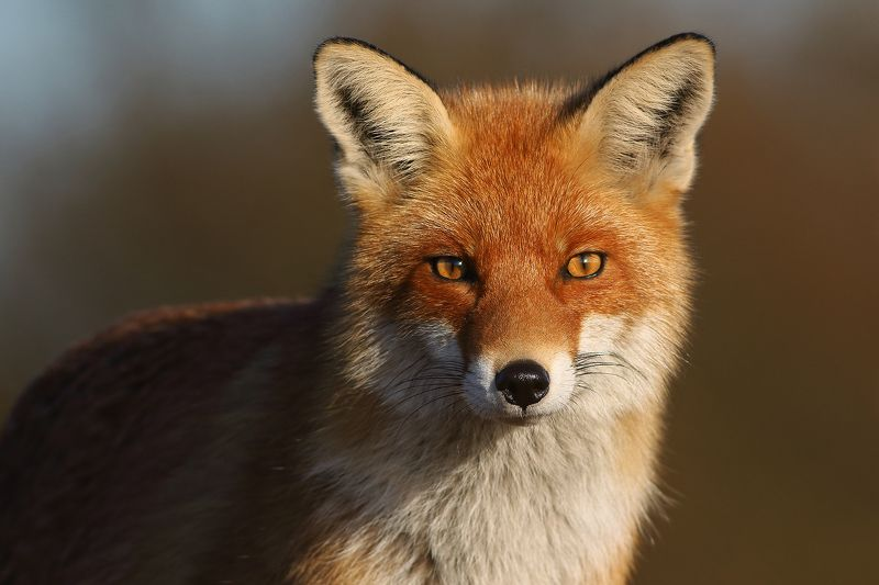 Portrait of the Foxphoto preview