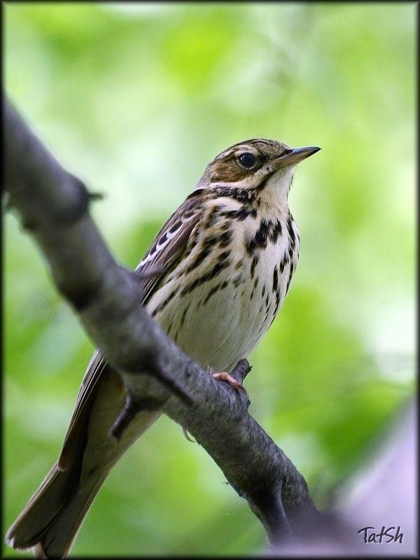 лесной конёк, птицы, фауна, птицы россии, лесная шеврица, Anthus trivialis Лесной конёкphoto preview