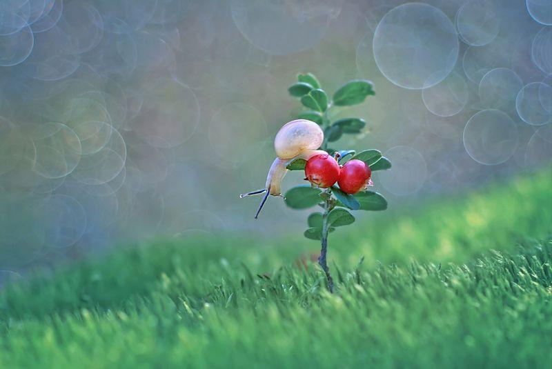 улитка, брусника, лето, ягоды, природа Лес украсила брусникаphoto preview