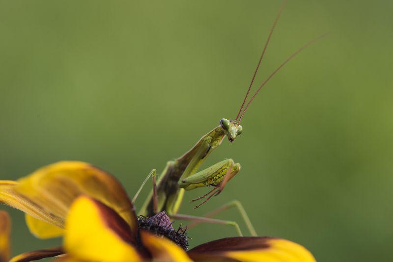 богомол, макро, насекомое, животные Богомол на цветкеphoto preview