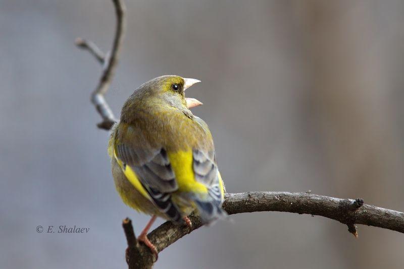 birds,carduelis chloris,european greenfinch,обыкновенная зеленушка,птица,птицы,фотоохота \
