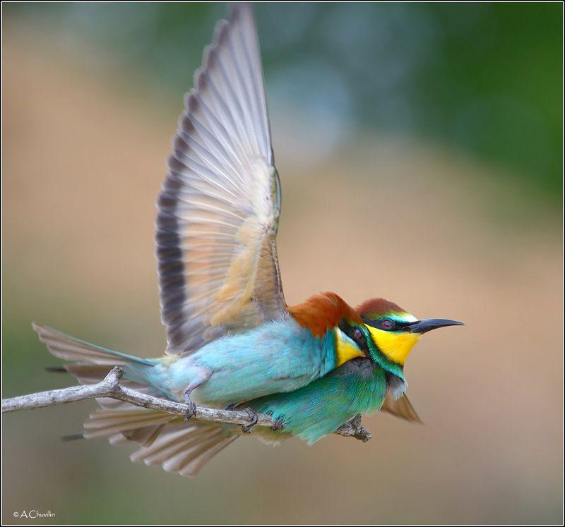 птицы,щурки,пара,счастье Мгновенья счастьяphoto preview