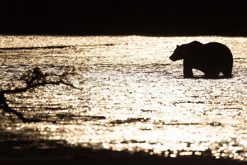 Камчатка, медведь, закат, природа, путешествие, россия, рыбалка, животные Рыбалка на закатеphoto preview
