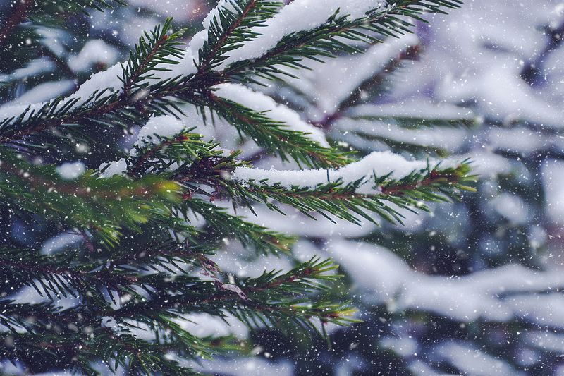 ель, ветки, снег, зима, ноябрь Зимняя сказка ноябряphoto preview