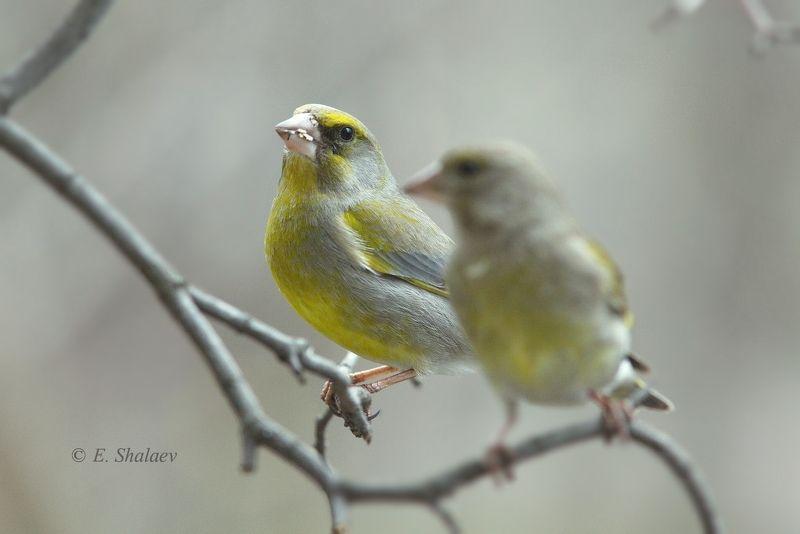 birds,carduelis chloris,european greenfinch,обыкновенная зеленушка,птица,птицы,фотоохота Он обернулся посмотреть....photo preview