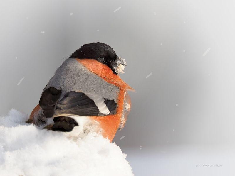 pyrrhula pyrrhula, зима, красота, мороз, московская область, обыкновенный снегирь, природа, птицы, птицы россии, снег, снегирь, фауна, февраль Зима...photo preview