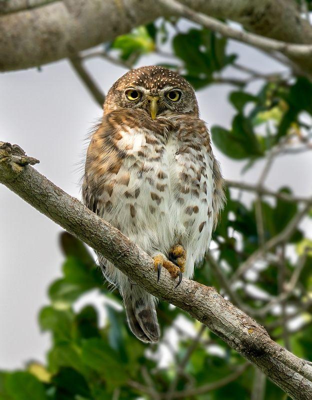 cuban pygmy owl, кубинский воробьиный сыч Cuban pygmy owlphoto preview