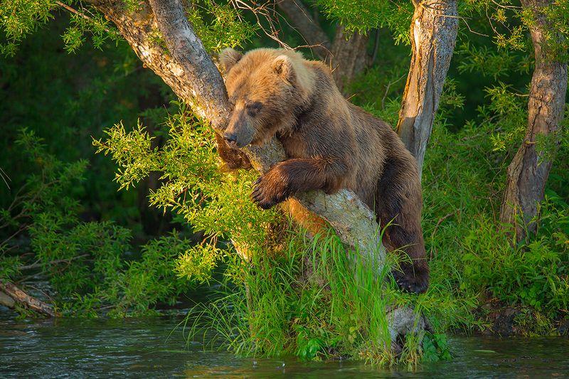 Камчатка, медведь, лето, природа, путешествие, животные, рыбалка, закат Высоко сижуphoto preview