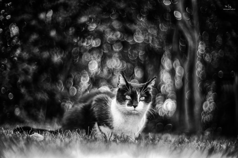 cat, canonrf, bokeh , animal, bw Cat.photo preview